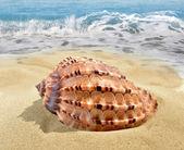 Conch shell — Стоковое фото