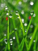 Dew and ladybird — Stock Photo