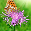 Butterfly Fabricianaglaia — Stock Photo #11418881