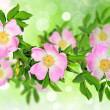 Rosa canina — Stock Photo