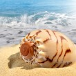 Conch shell — Stock Photo #11511386