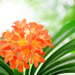 Orange Clivia miniata - Stock Photo
