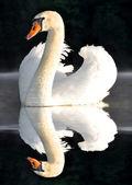 Biały łabędź — Zdjęcie stockowe