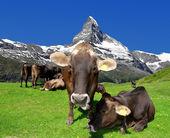 Manada de vacas — Foto de Stock