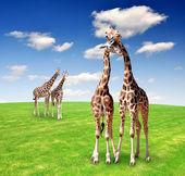 Giraffe love — Stock Photo