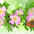 Rosa canina (Dog Rose) with butterfly - Stok fotoğraf