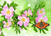 Rosa canina (Dog Rose) with butterfly — Stock Photo