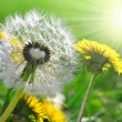 Dandelions — Stock Photo #11794318
