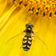 Hoverfly Scaeva pyrastri - Foto Stock
