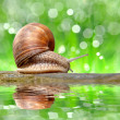 Stock Photo: Garden snail