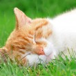 Red cat in grass — Stock Photo