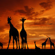 Stock Photo: Herd of giraffes