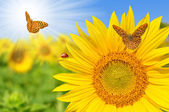 Sunflower field — ストック写真