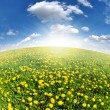 Dandelions in the meadow - Stock Photo