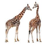 Iki zürafa — Stok fotoğraf