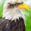 Bald Eagle — Stock Photo #12386992