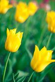 Tulip in spring — Stock Photo