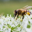 Bee on white flower — Stock Photo #11392553
