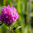 Stock Photo: Clover flower in the field