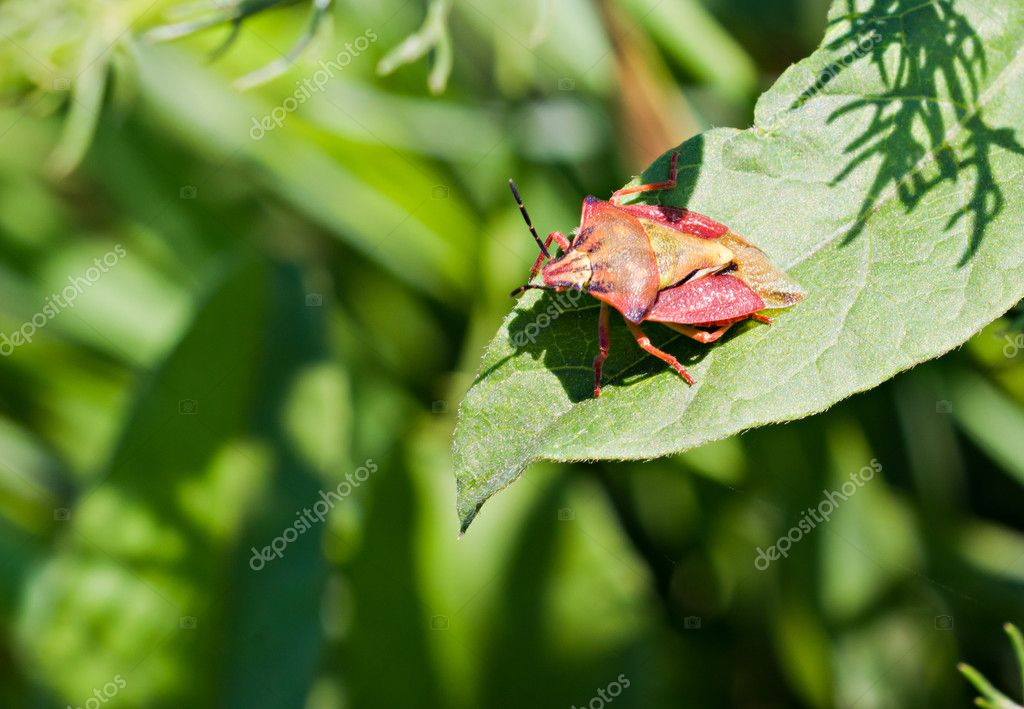 The red bug on the plant by summer — Stock Photo #11398912
