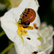 The colorado beetle's larvae on potato flower — Stock Photo