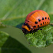 The colorado beetle's larva — Stock Photo #11974938