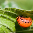 The  colorado beetle's larva — Stock Photo