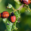 The colorado beetle's larvae — Stock Photo