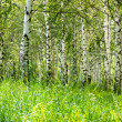 The birch grove by summer — Foto Stock
