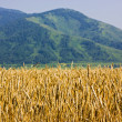 The ripen wheat field — Stock Photo