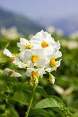 The potato flowers — Stock Photo