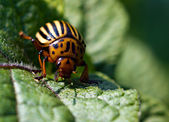 The colorado beetle on potato leaf — Stock Photo