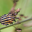 Royalty-Free Stock Photo: Italian Striped Bug on the plant