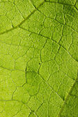 The green leaf texture — Stock Photo