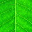 Walnut leaf — Stock Photo