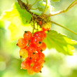 Red currant — Stock Photo #11370354