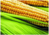 The fresh sweetcorn — Stock Photo