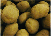 The fresh big patatoe — Stock Photo
