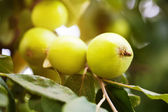 Branch with green apples — Stock Photo