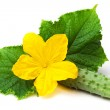 Cucumber with flower and leaves on the white — Stock Photo #11511602