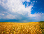 Ukrainian field of wheat on the blue sky — Stock Photo