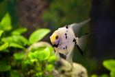 Scalar aquarium fish in the green algae — Stock Photo