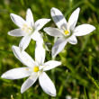 Spring flower Star of Bethlehem — Stock Photo