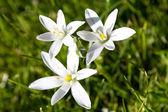Spring flower Star of Bethlehem — Stock Photo