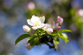 Apple flower — Stock Photo