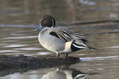 Male Northern Pintail — Stock Photo