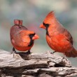 Pair of Northern Cardinals — Stock Photo #11342605
