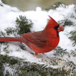 Cardinal In Snow — Stock Photo #11342613