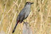 Gray Catbird (Dumetella carolinensis) — Стоковое фото