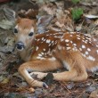 White-tailed Deer Fawn - Stock Photo